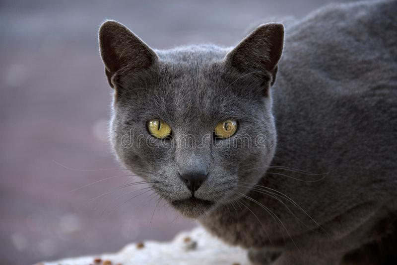 Portrait of a grey cat with yellow eyes as a symbol of power. The grey cat looks straight at the viewer with a magical look royalty free stock images