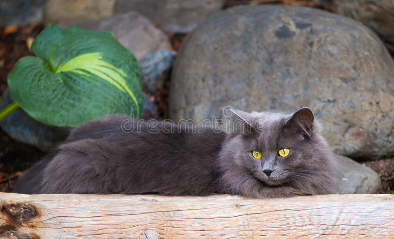 Grey Cat Lounging images stock