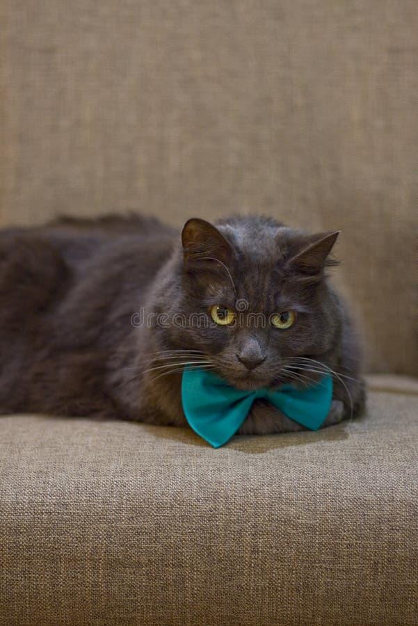 Grey Cat med den gröna flugan royaltyfria foton