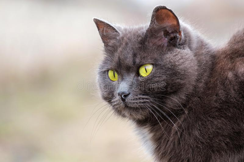 Grey cat outdoors with green eyes. Animal portrait stock photos