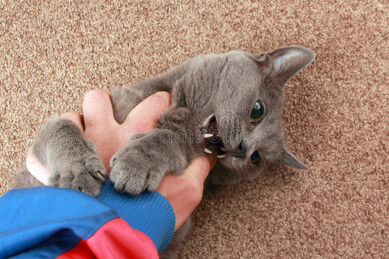 Grey cat playing with hand stock photos
