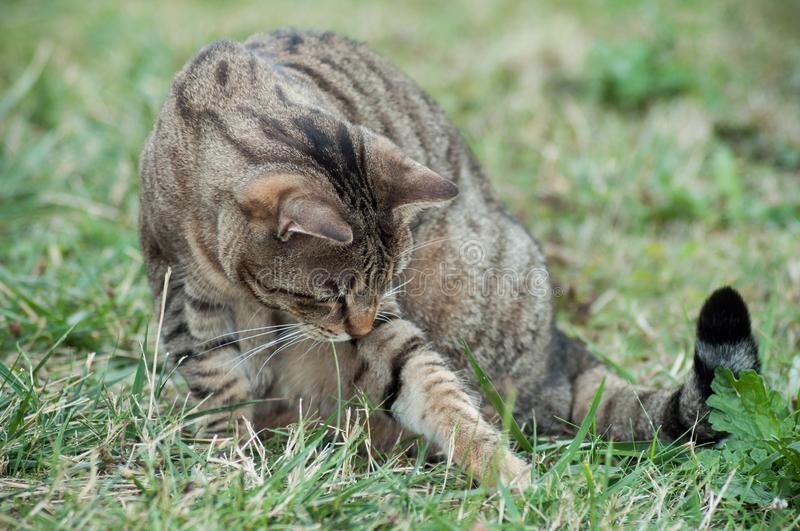 Grey cat playing with prey in grass. Portrait of grey cat playing with prey in grass royalty free stock images