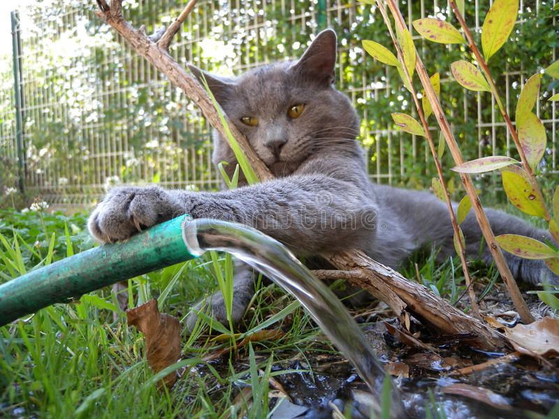Grey cat. Playing with water hose in garden stock images