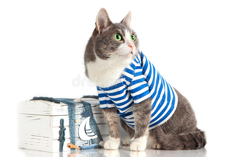 Grey cat in seaman suit on isolated background with chest. Grey cat in seaman suit on isolated background stock photography