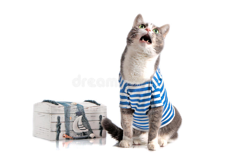 Grey cat in seaman suit on isolated background. Grey cat mew in seaman suit on isolated background with chest royalty free stock photo