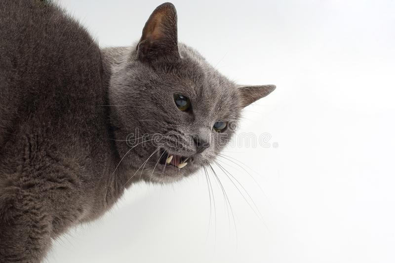 Grey cat shows aggressive fangs on a white background stock photography