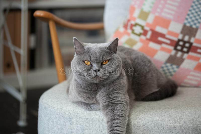 Grey cat sitting on a chair. stock photos