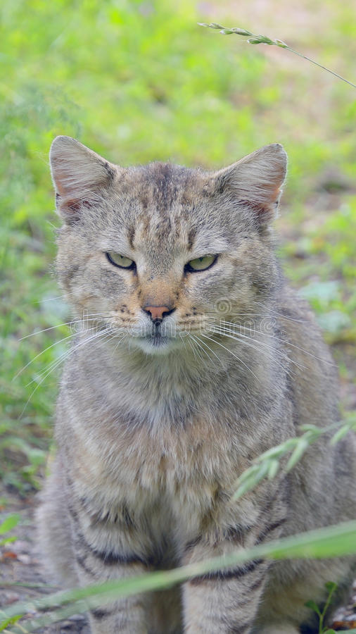 Grey cat sitting in green grass close, serious pet in wild royalty free stock photos