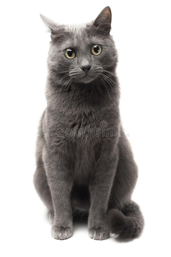 Free Grey Cat Sitting Over White Background Royalty Free Stock Photography - 17315927