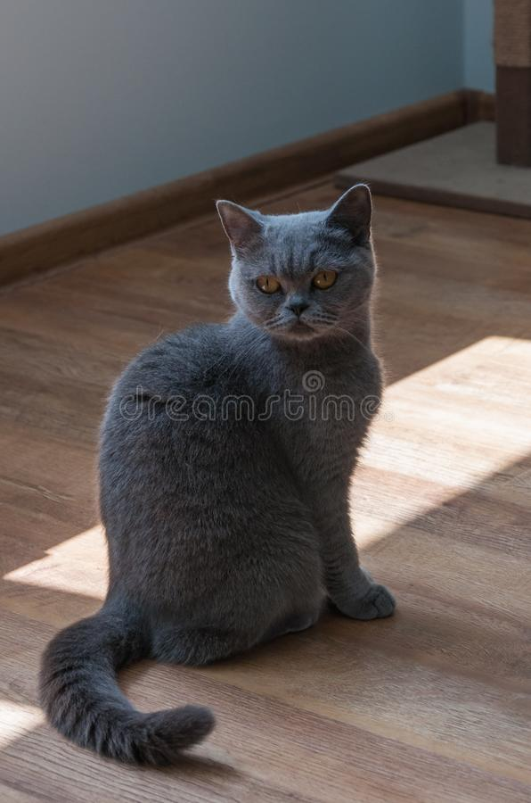 A grey cat sitting at wooden floor stock images
