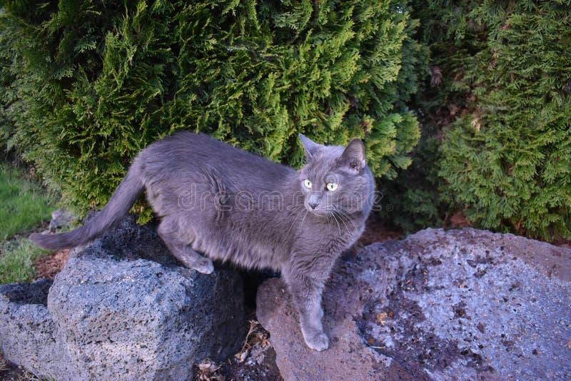 Grey Cat Standing sulle rocce immagine stock libera da diritti