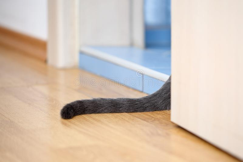 Grey cat tail peeping out from an open bathroom door. Pure grey cat`s tail is sticking out from an open bathroom door. Part of light laminate and blue terracotta stock photo