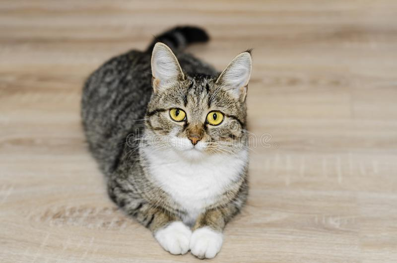 Grey cat with tufts on the ears, lying on the floor. Selective focus. Gray yellow-eyed cat with tufts on the ears, lying on the floor. Selective focus stock photos