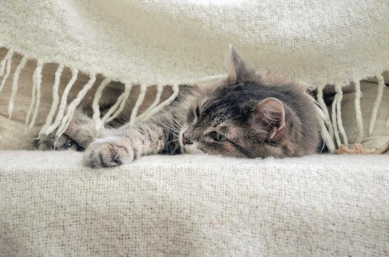 A grey cat under blanket on a bed stock images