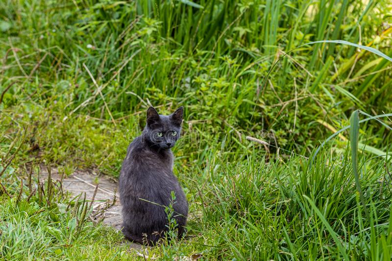 Grey cat with watchful eye in the green grass.  stock images