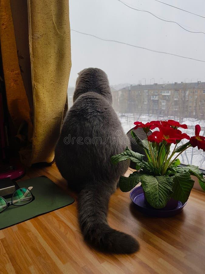 Grey cat on a windowsill. Flowerpot with red flowers stands on the windowsill. Outside the window, winter. Flowerpot with red flowers stands on the windowsill stock image