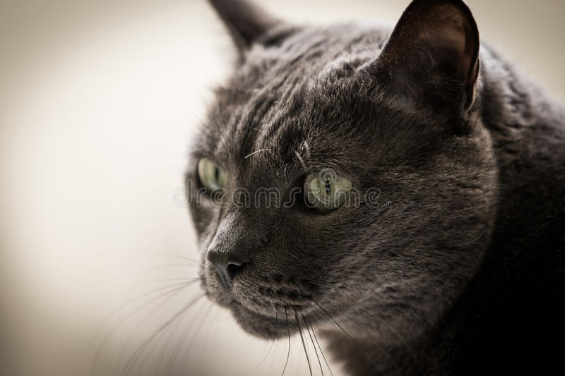 Grey cat. Young grey cat on smooth colored background