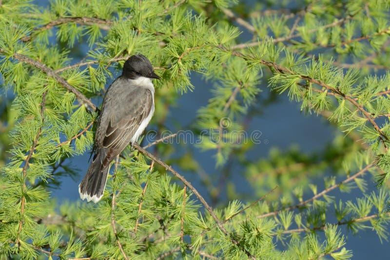 Grey Catbird photos stock