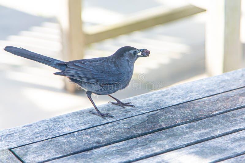 Grey Catbird på picknicktabellen med ett russin i dess näbb royaltyfri foto