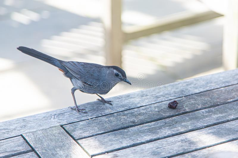 Grey Catbird on picnic table with a raisin in front of its beak stock photography