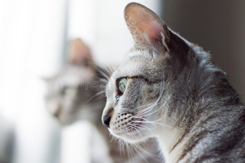 Grey cats`s looking out of the window with interested face. royalty free stock images