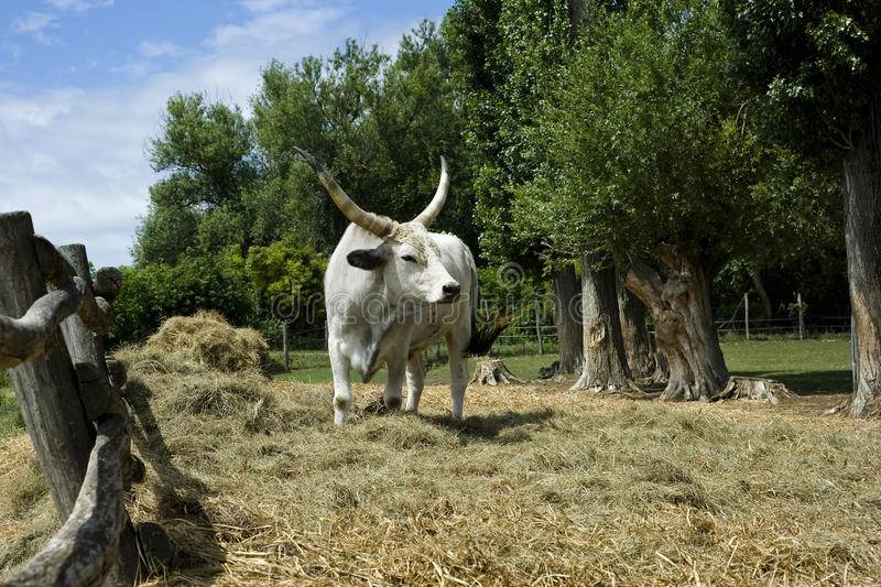 Grey Cattle. A famous Hungarian specie stock photos