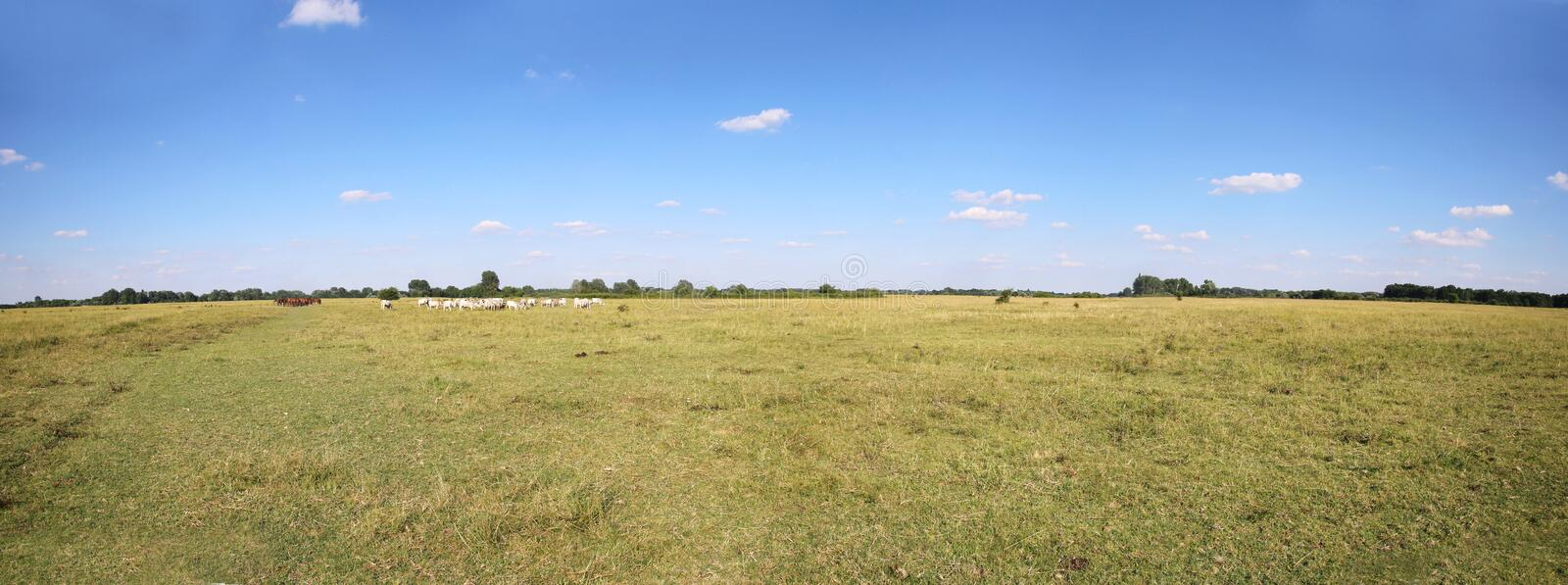 Grey cattle cows herd grazing at hungarian desert puszta. Vast rural colorful panoramic landscape with herd of hungarian grey cattle cows on meadow against blue royalty free stock photos