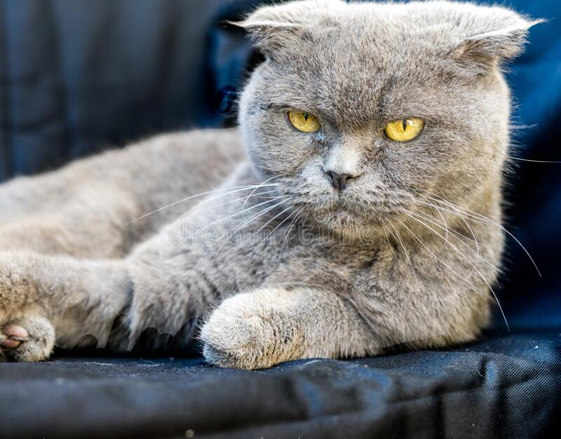 Grey Chartreux cat with yellow eyes and angry look. A grey Chartreux cat with yellow eyes and angry look stock images