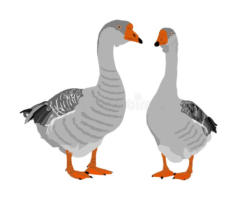 Grey Chinese Goose vector illustration isolated on white background. Goose couple in love isolated on white background. royalty free illustration