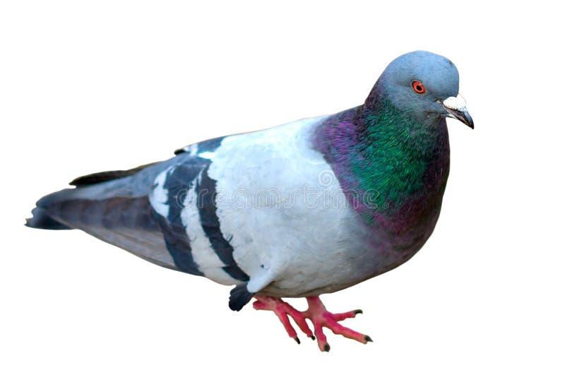 Grey City Pigeon Geïsoleerdj op witte achtergrond Sluit omhoog de Grijze duif van de doGreystad Geïsoleerdj op witte achtergrond  royalty-vrije stock afbeelding