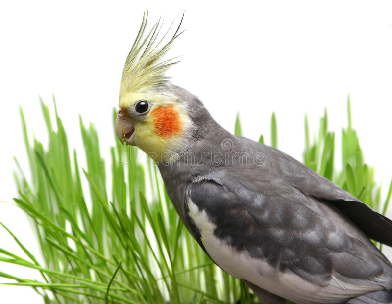 Grey Cockatiel Isolated mit grünem Gras lizenzfreie stockbilder