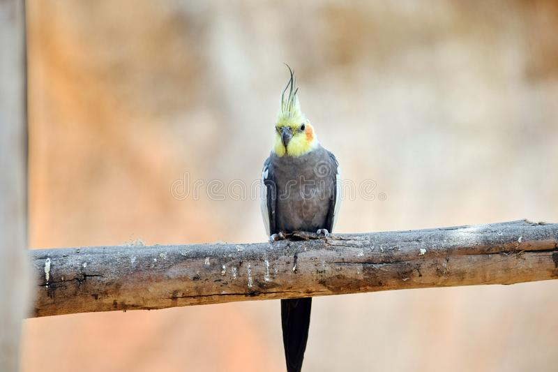 Grey Cockatiel Nymphicus Hollandicuson Sitting auf Niederlassung stockfotos