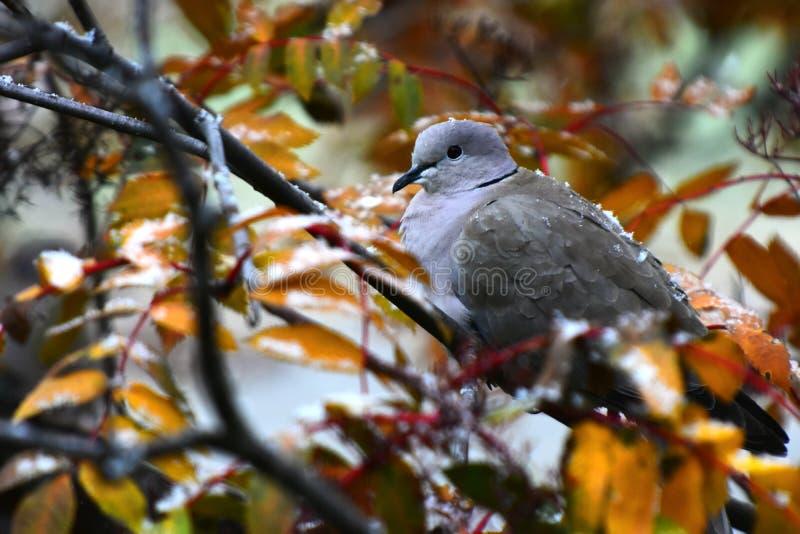 Grey Collared Dove arkivfoton