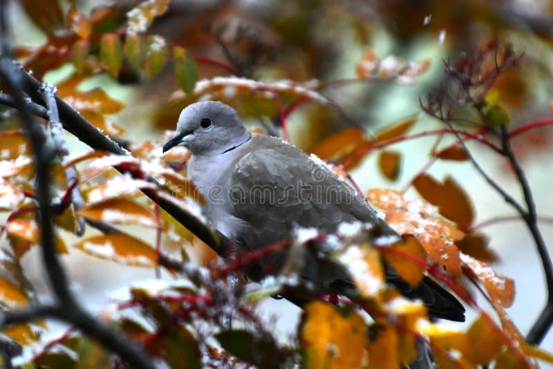 Grey Collared Dove royaltyfri foto