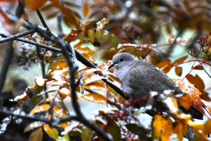 Grey Collared Dove royaltyfria bilder