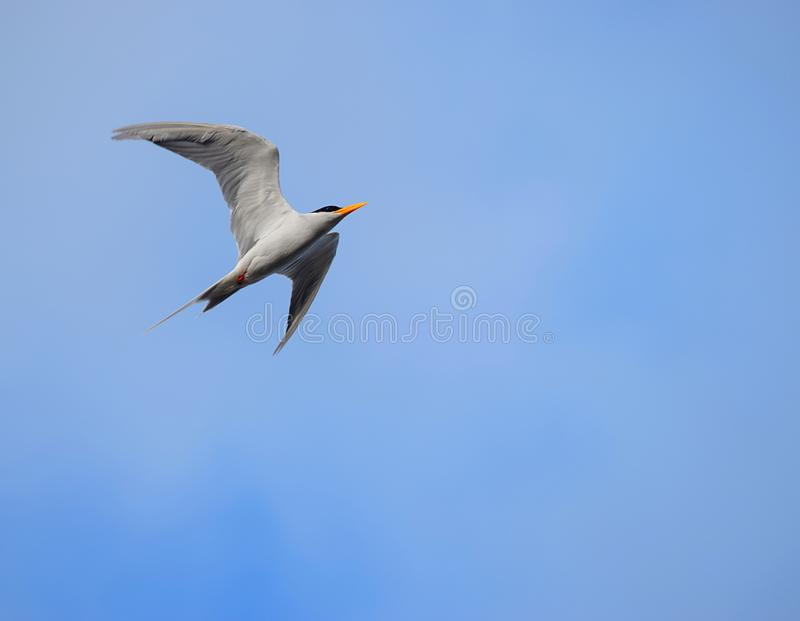 Grey Colored Bird Flying High no céu azul claro - fundo natural imagens de stock royalty free
