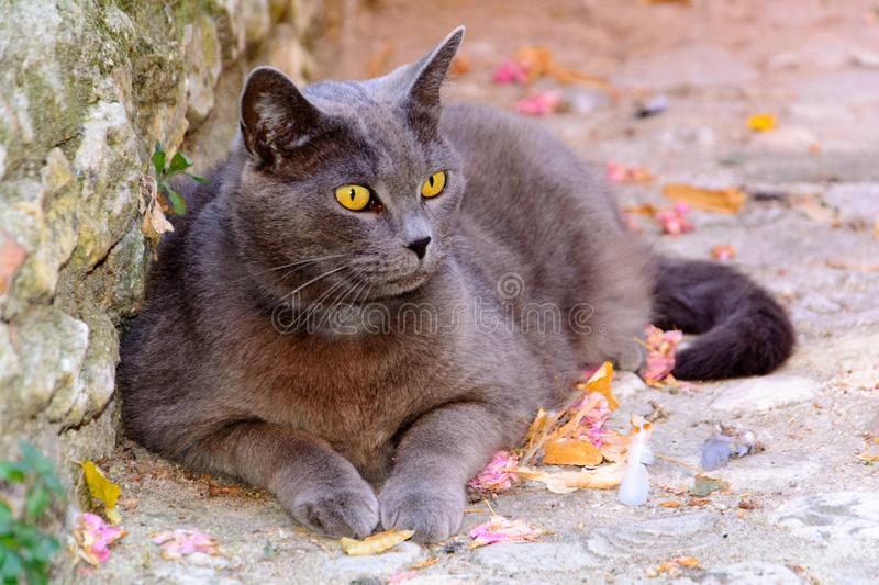 Grey colored cat lying down with bright yellow eyes. Big cat lying down against a wall in the sun, outdoor, animal, big bright yellow eyes, focus on foreground royalty free stock photos