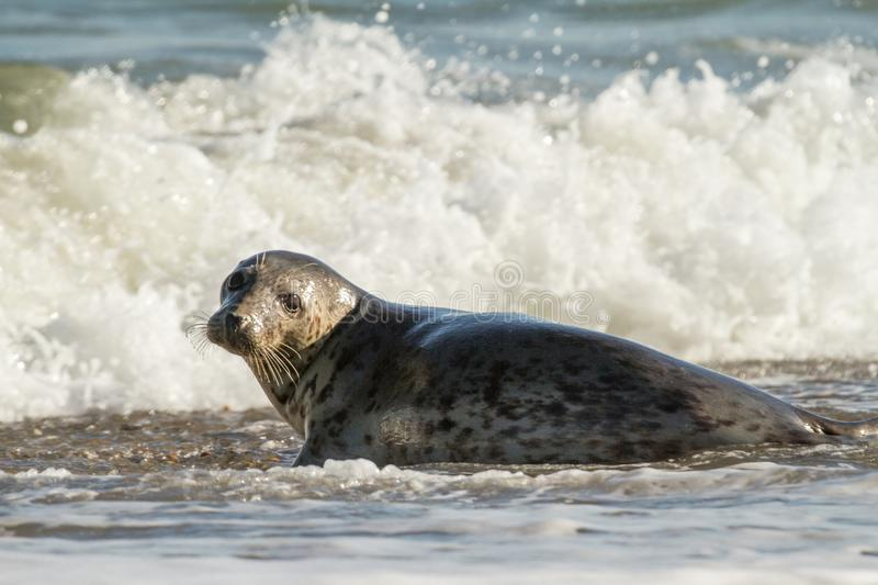 Grey common seal on beach playing in sea stock photo