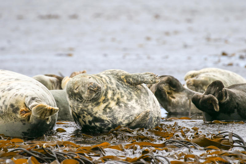 Grey common seals on beach stock photos
