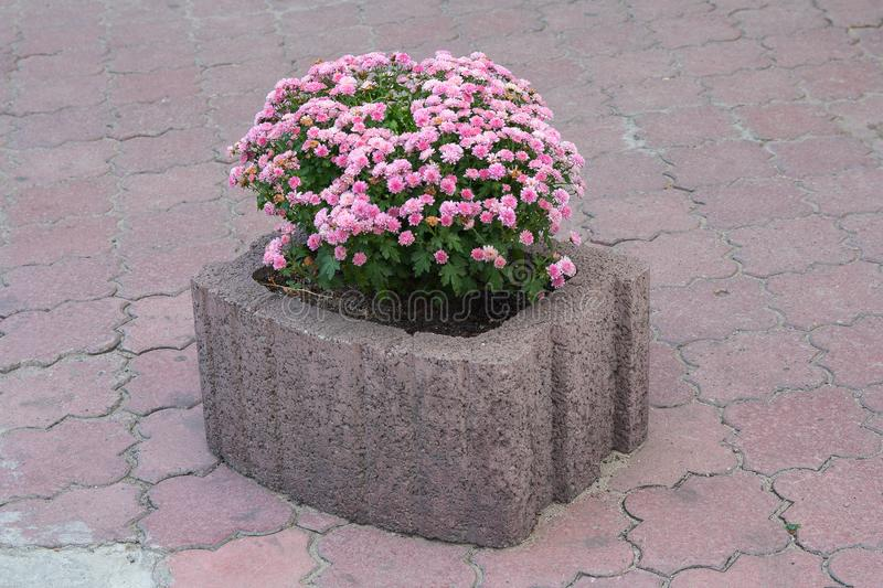 Grey concrete flower bed with pink flowers stock photos