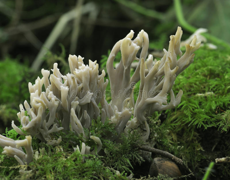 Download Grey Coral Fungi stock photo. Image of fall, forest, grey - 16537224