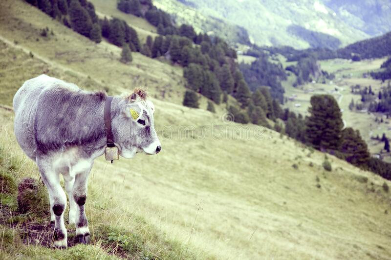 Grey Cow on Green Grass Field Near Near Trees during Daytime royalty free stock photos