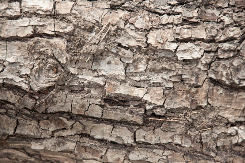 Grey cracked bark f old tree. Wooden texture stock image