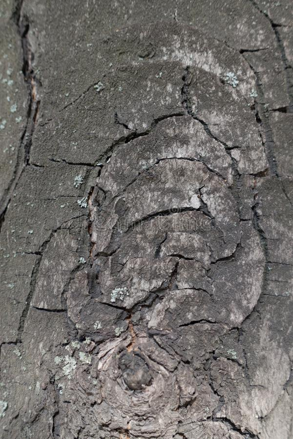 Grey cracked bark of horse chestnut. Tree royalty free stock images