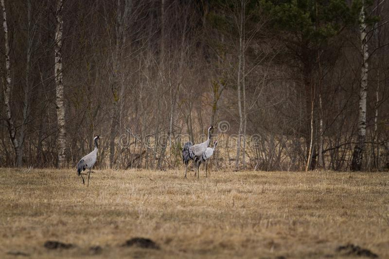 Grey crane swarm stock photos
