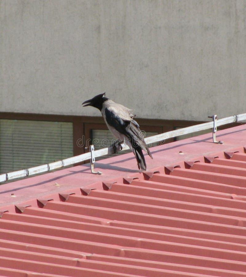 Grey Crow fotografia stock