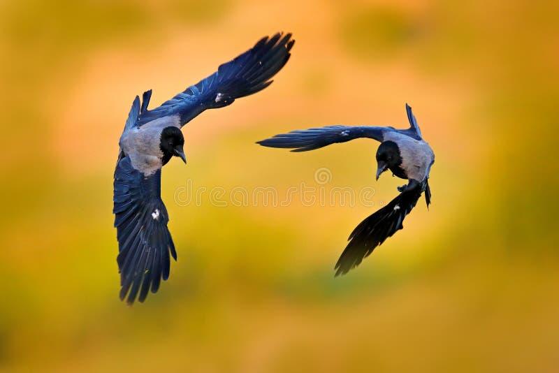 Grey crow fight fly in evening light on meadow. Hooded hoodie crow, Corvus cornix, bird behaviour in the nature. Wildlife Bulgaria royalty free stock photos