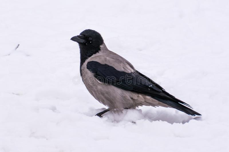 A grey crow in the street in winter. royalty free stock image