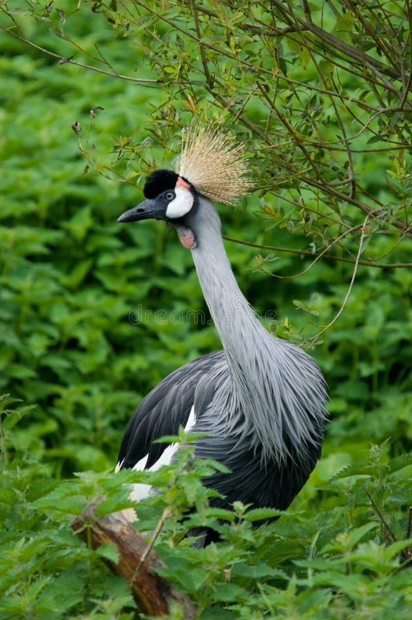 Download Grey Crowned Crane stock image. Image of fauna, grey - 27671753