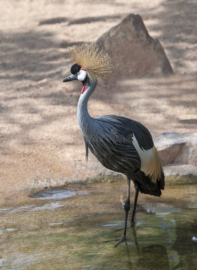 Grey Crowned Crane fotografia stock